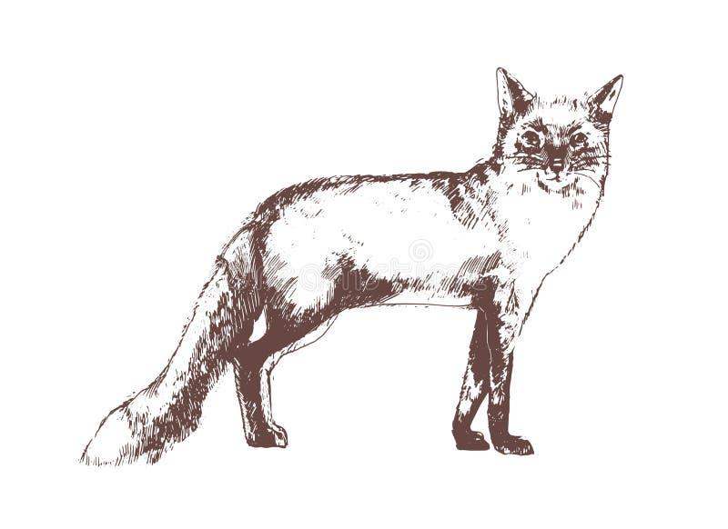 Rode voshand die met contourlijnen op witte achtergrond wordt getrokken Mooie realistische elegante tekening van bos allesetend stock illustratie