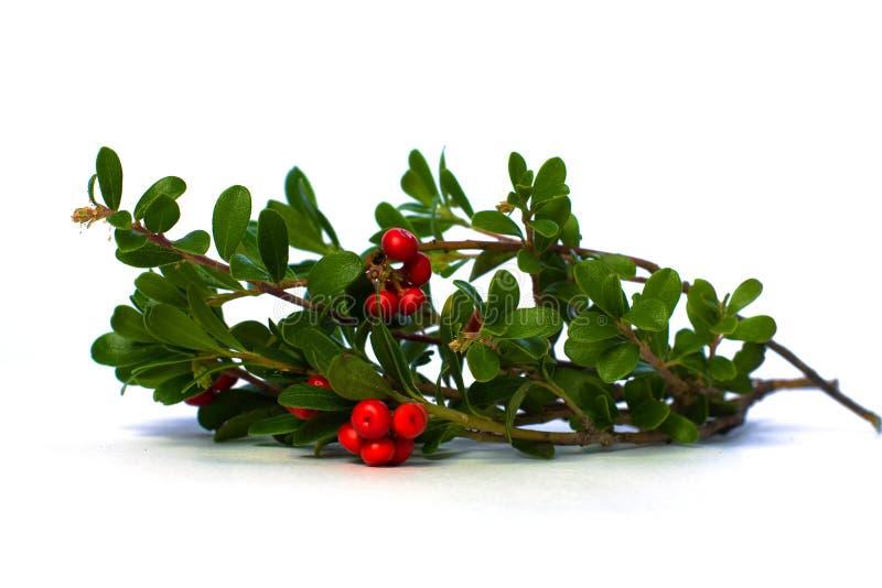 Rode Vossebes en Groene Bladeren royalty-vrije stock afbeeldingen