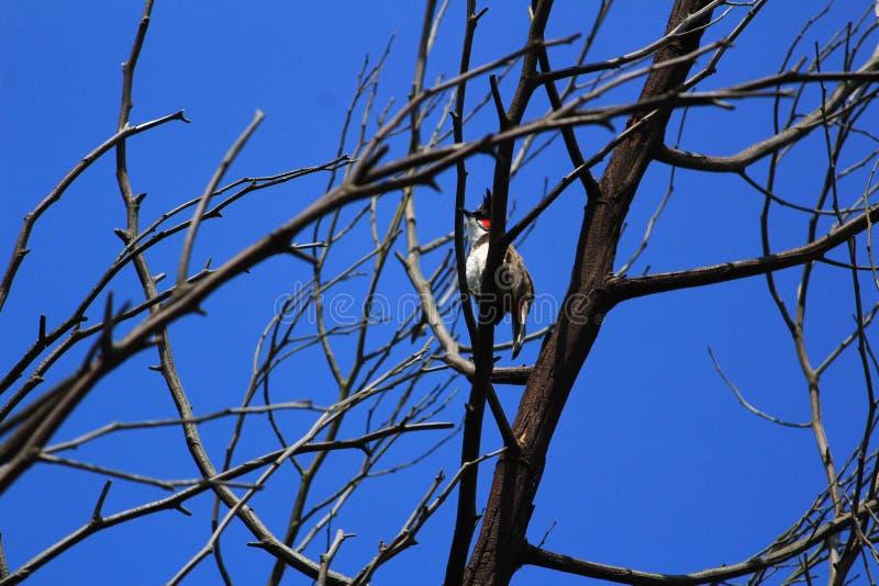 Rode wangen op droge boom stock foto