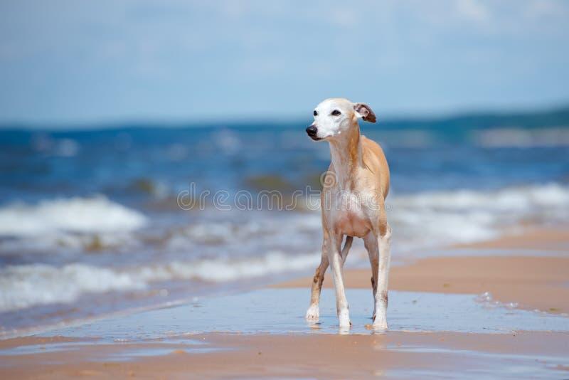 Rode whippethond die zich op een strand bevinden stock fotografie