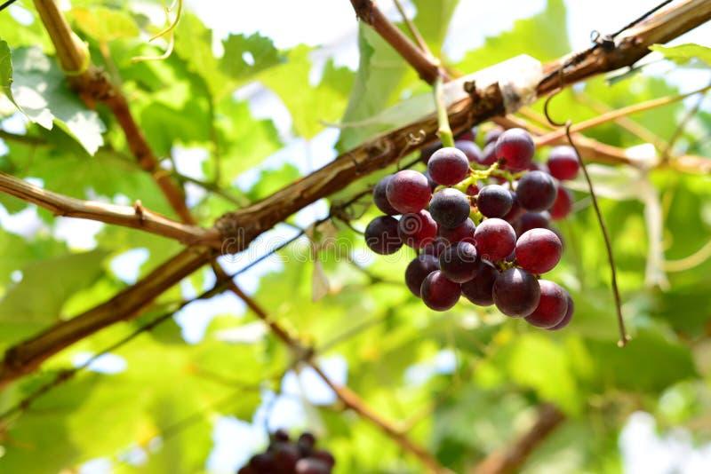 Rode wijndruif stock foto's