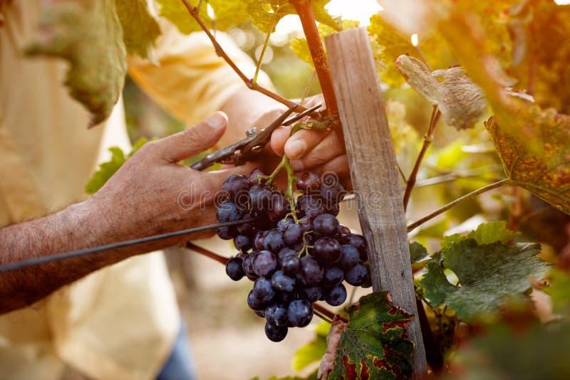 Rode wijndruiven op wijnstok in wijngaard stock afbeelding