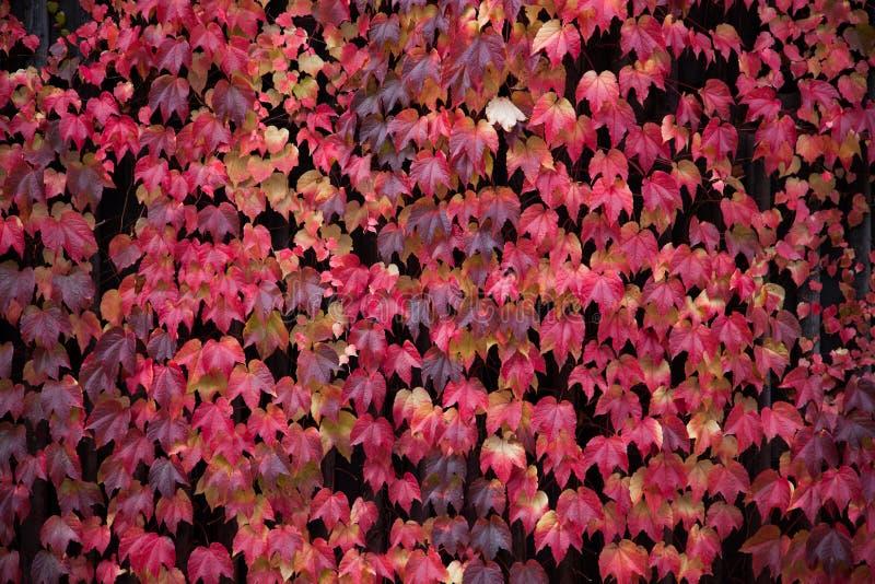 Rode wijnstokbladeren, de herfstkleuren royalty-vrije stock fotografie
