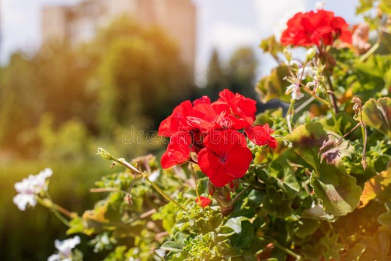 Rode wilde bloem op een achtergrond van groen park De rode bloemen sluiten omhoog op een vage achtergrond van groene bladeren op  royalty-vrije stock afbeelding