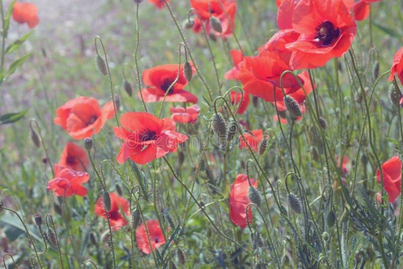 Rode wilde gebieden van papaverspapavers in de stralen van de avondzon Bloemen door de weg Gebied van Wildflowers De warme Zomer  stock fotografie