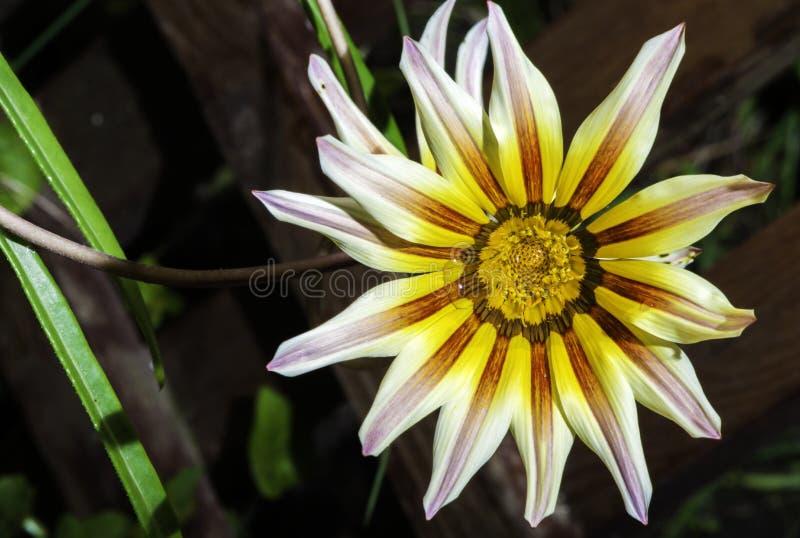 Rode, witte en gele bloem stock foto