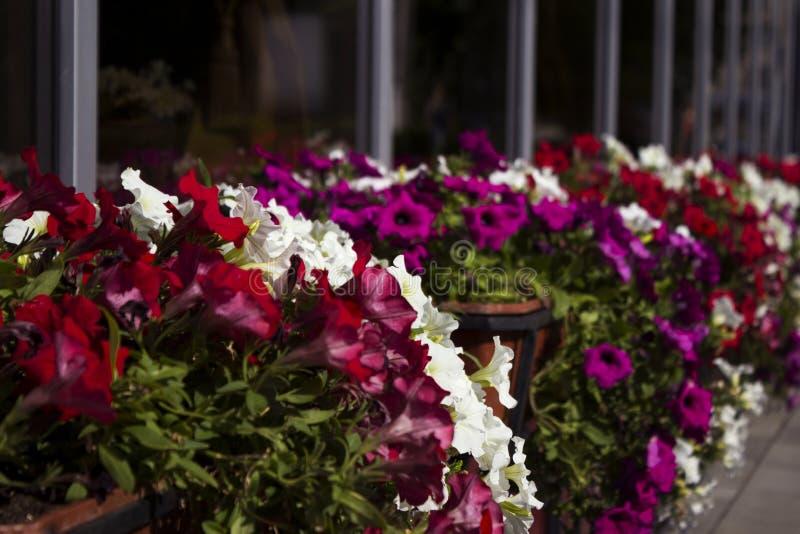 Rode, witte en roze petuniabloei in potten op de straat dichtbij de koffie De zomer, heldere bloemen, straatdecoratie stock afbeelding