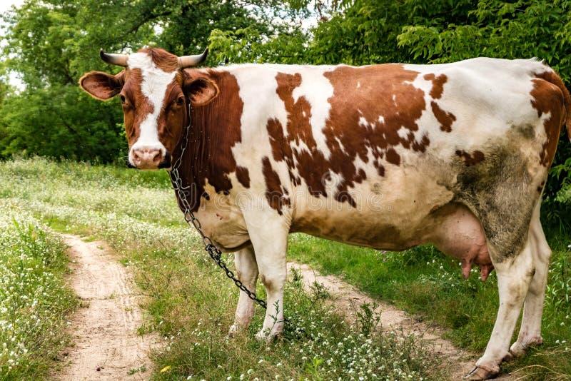 Rode witte koe op gebied dichtbij voetpad stock fotografie