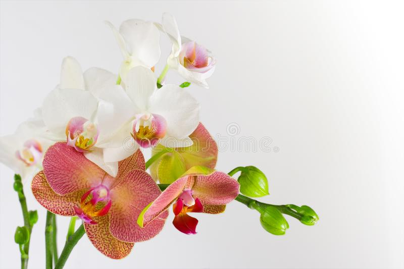 Rode & Witte Orchidee stock foto's