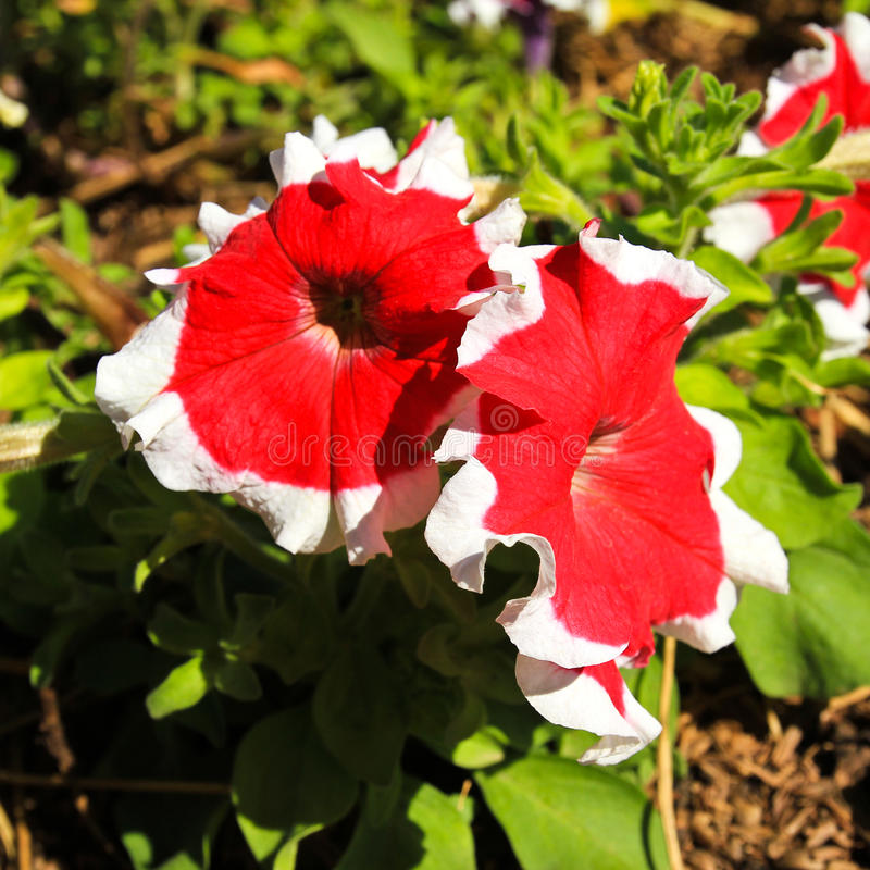 Rode witte petuniabloemen royalty-vrije stock afbeelding