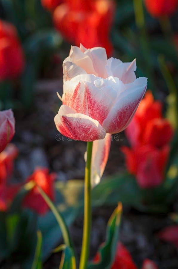 Rode Witte Tulp stock afbeelding