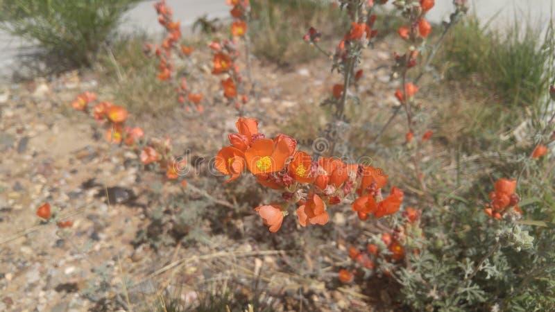 Rode woestijnbloemen royalty-vrije stock fotografie