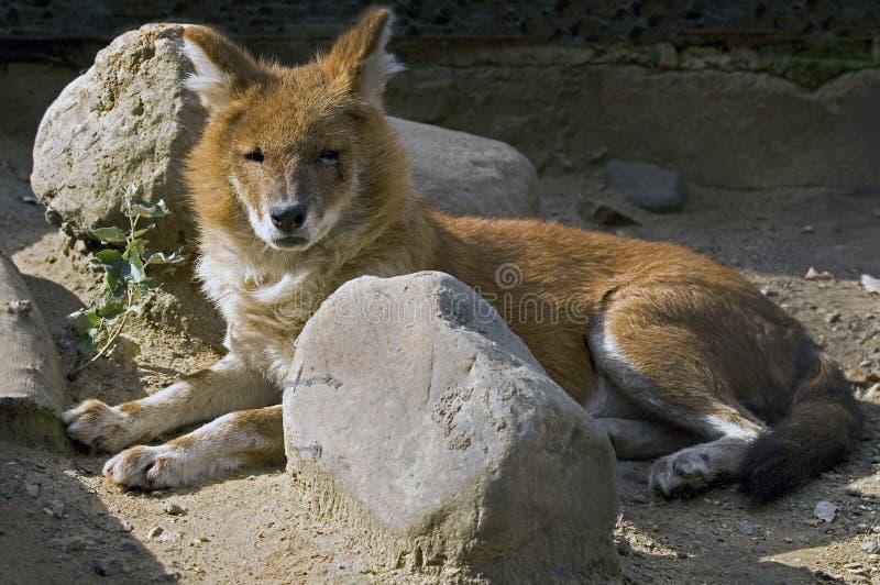 Rode wolf 1 royalty-vrije stock fotografie