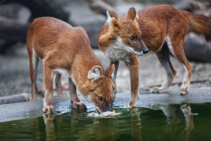 Rode wolf twee royalty-vrije stock foto's