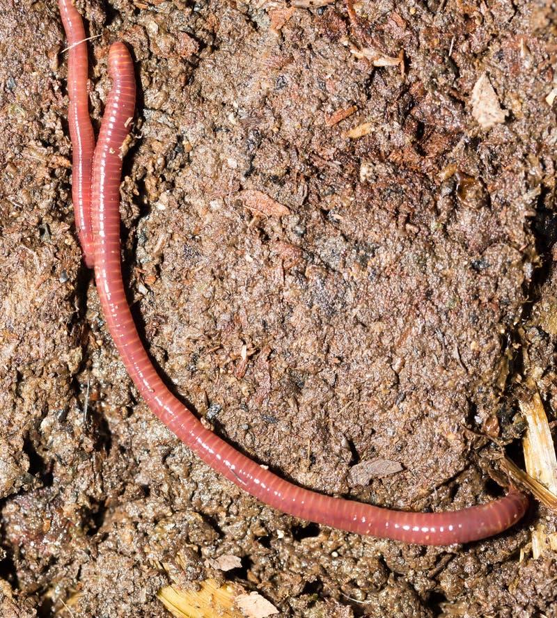 Rode wormen in compost - aas voor visserij royalty-vrije stock foto's