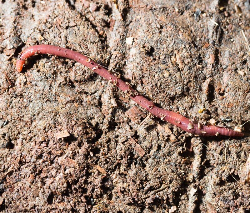 Rode wormen in compost - aas voor visserij stock foto's