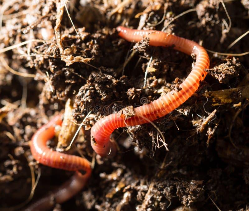 Rode wormen in compost - aas voor visserij stock foto