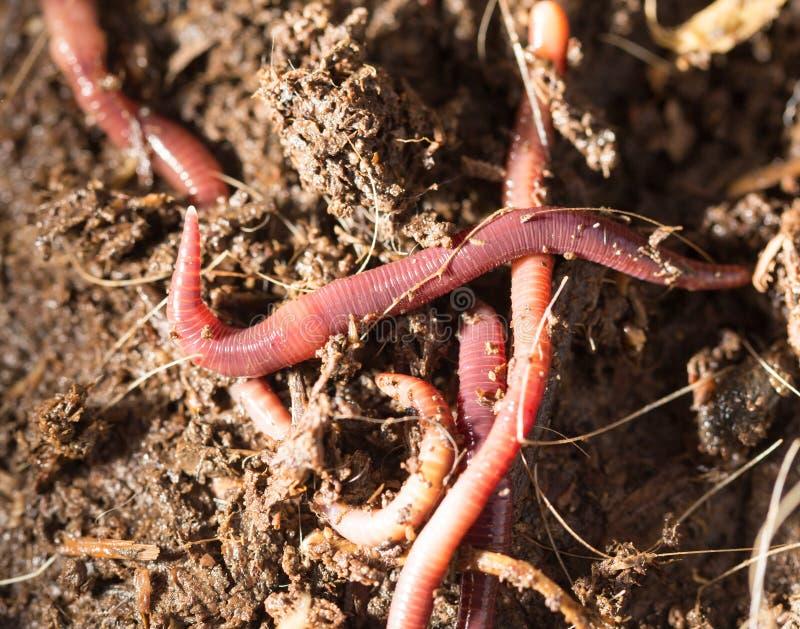 Rode wormen in compost - aas voor visserij royalty-vrije stock afbeelding