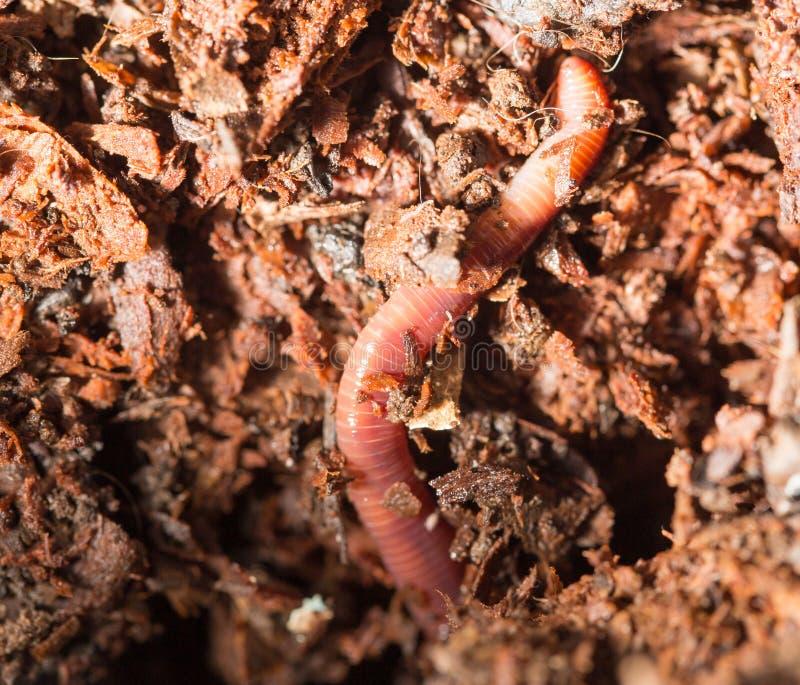 Rode wormen in compost - aas voor visserij stock afbeeldingen