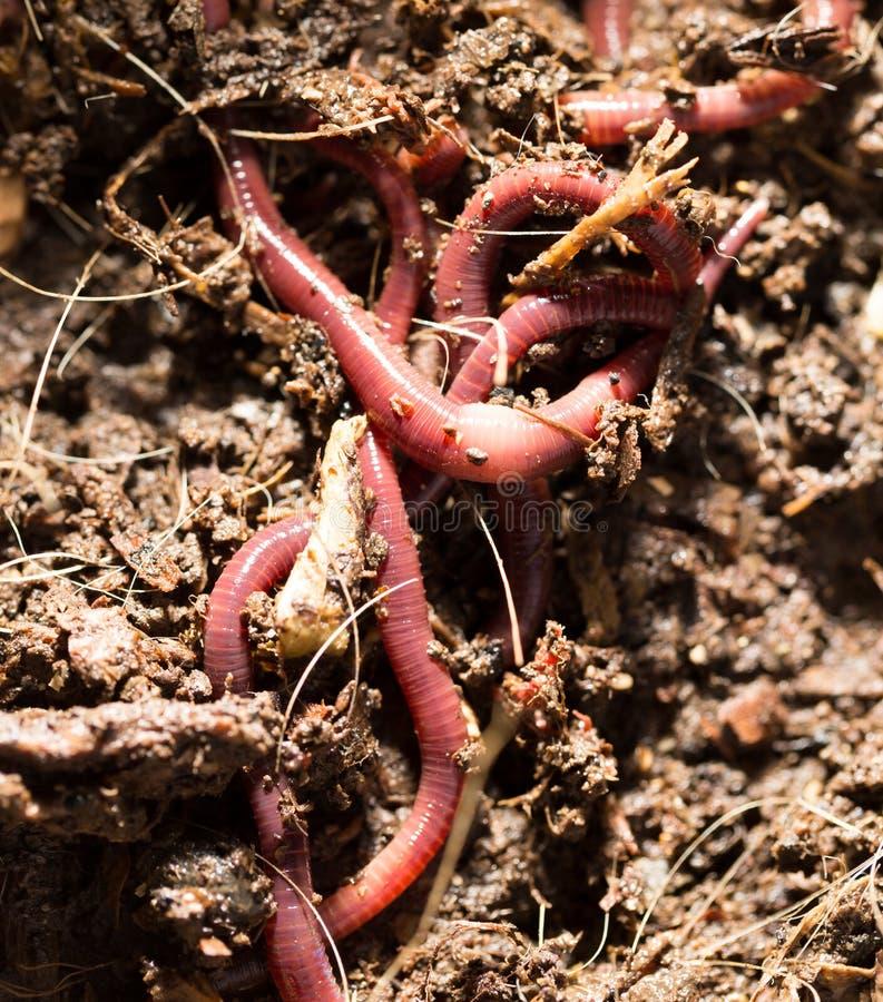 Rode wormen in compost - aas voor visserij stock afbeelding