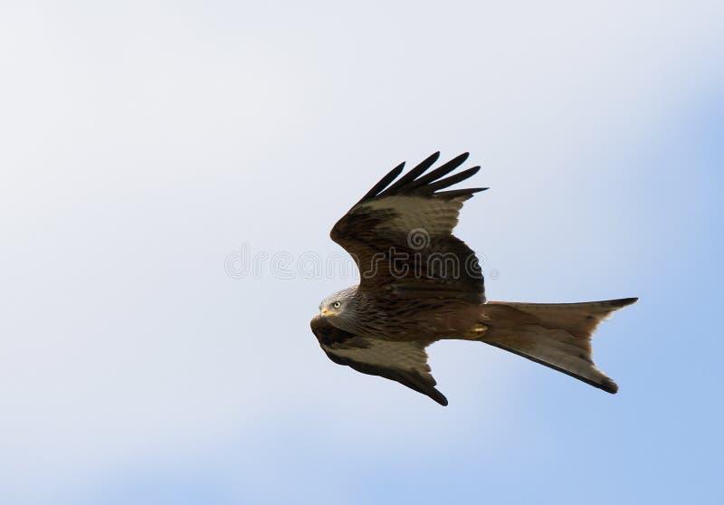 Rode Wouw, Red Kite, Milvus milvus. Rode Wouw in de vlucht; Red Kite in flight stock image