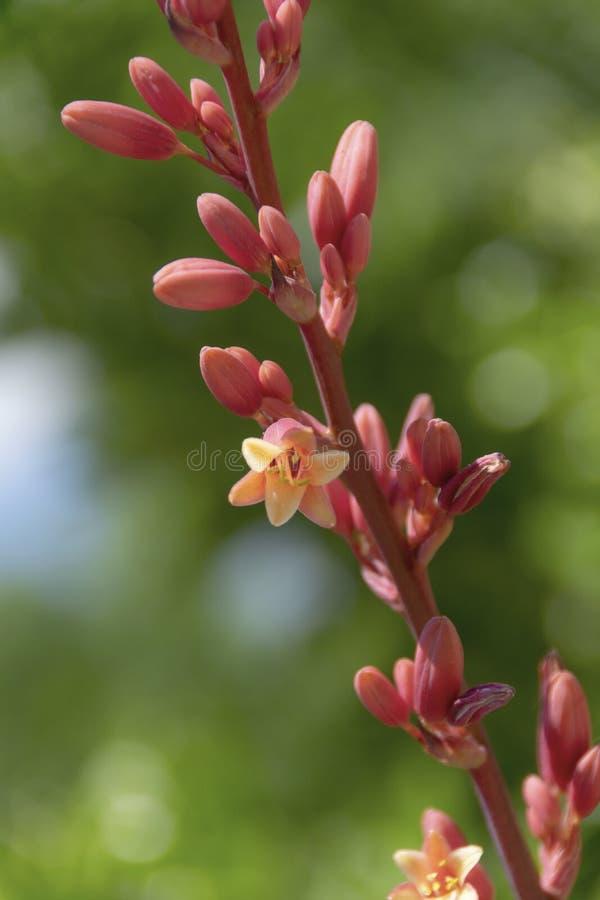 Rode Yuccabloei - Hesperaloe Parviflora stock foto's