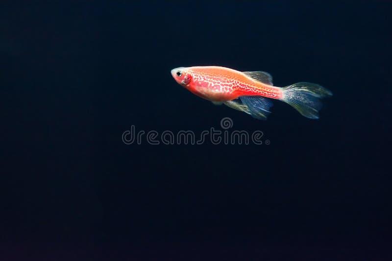 Rode zebrafish op een donkerblauwe achtergrond Genetisch gewijzigde het gloeien vissen Daniovissen royalty-vrije stock foto