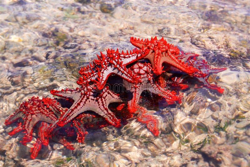 Rode Zeestergroep stock afbeelding