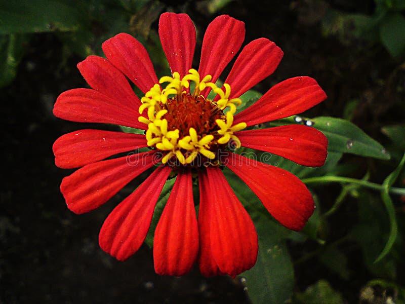 Rode Zinnia stock afbeeldingen