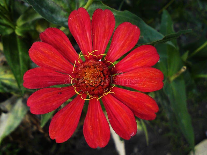 Rode Zinnia stock afbeelding