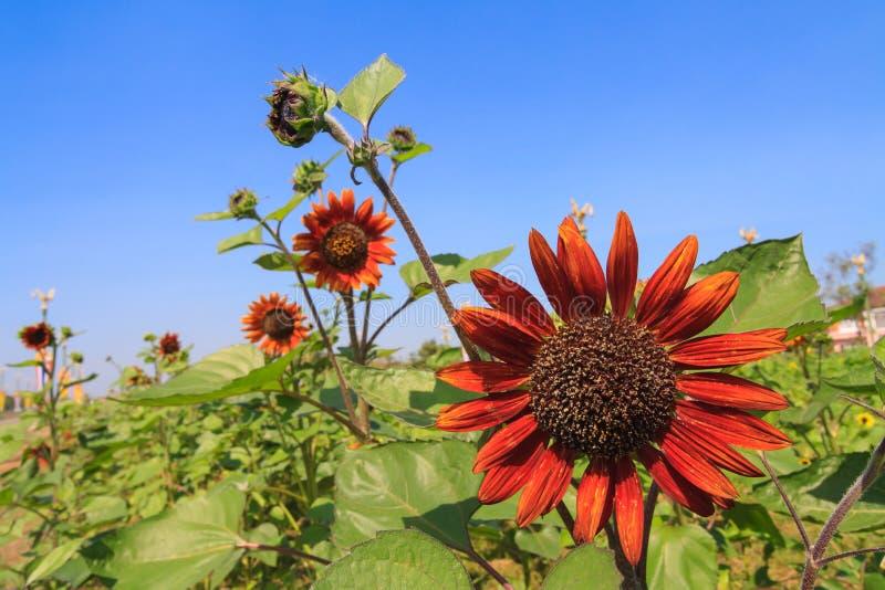 Rode zonnebloem stock afbeeldingen