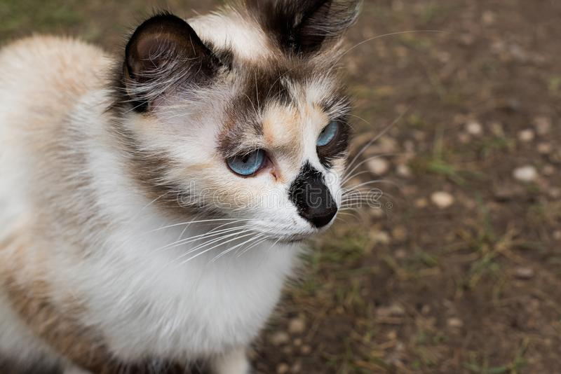 Rode, zwarte, witte droevige kat met blauwe ogen stock afbeeldingen