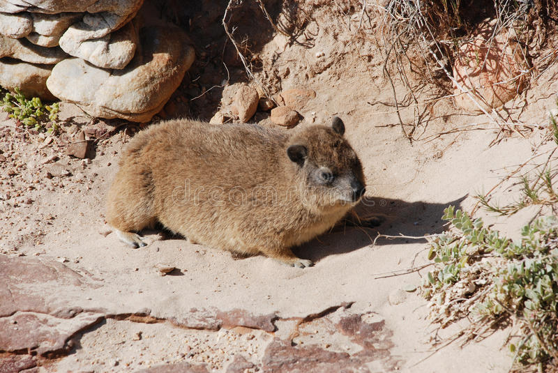 Download Rodent stock photo. Image of wildlife, hyrax, rock, brown - 22729444