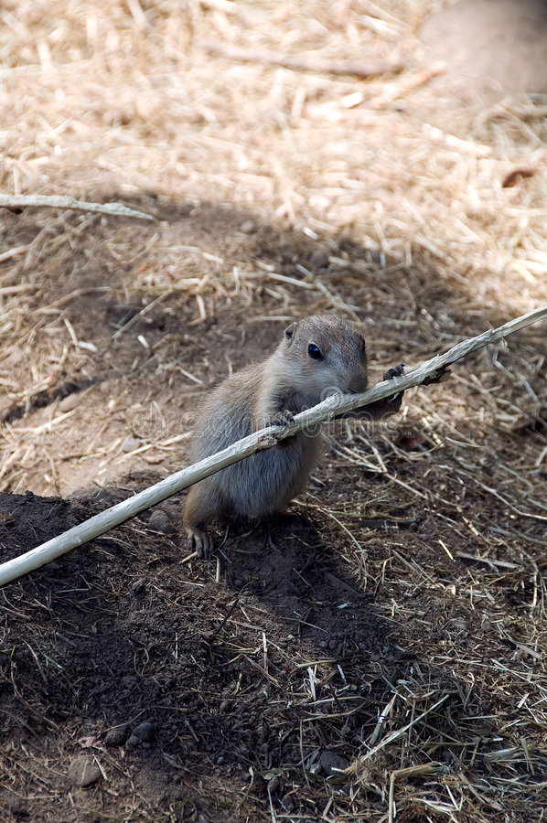 Rodent Biting On Stick Royalty Free Stock Images