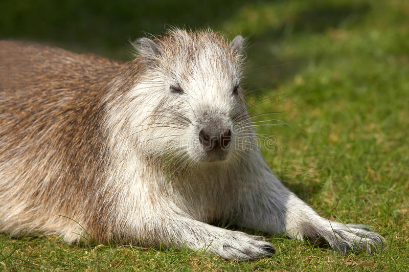 Download Rodent stock image. Image of close, animal, head, face - 32291335
