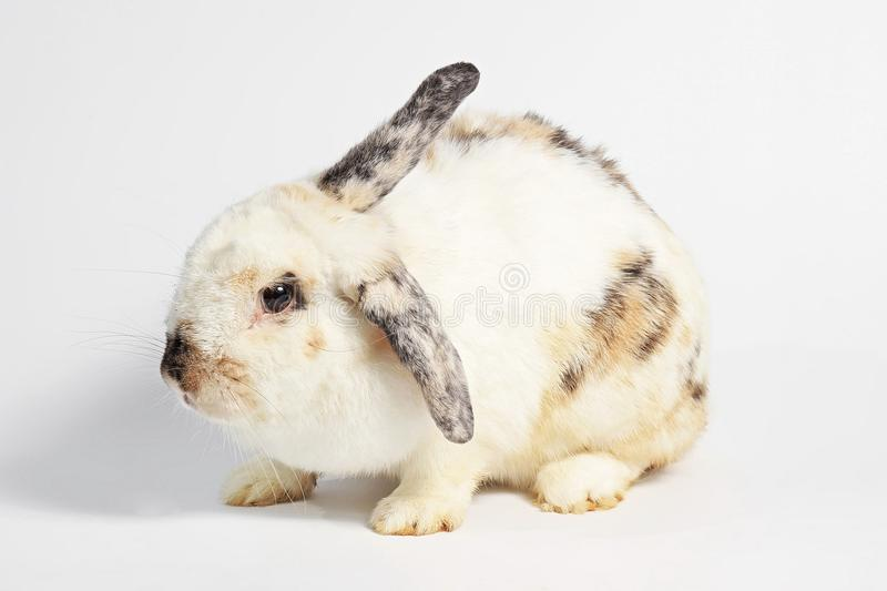Rodent, mammal animal. Black and white rabbit. stock photography
