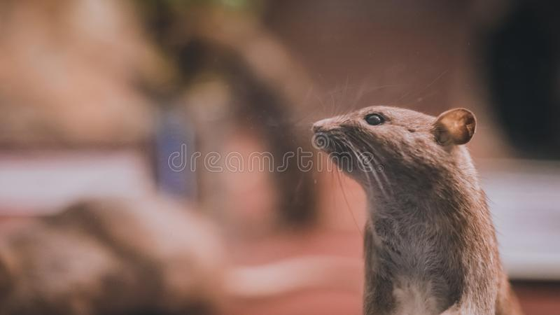 Rodent Rat Mouse Animal Pet. A Small Creatures Household Pet stock photos