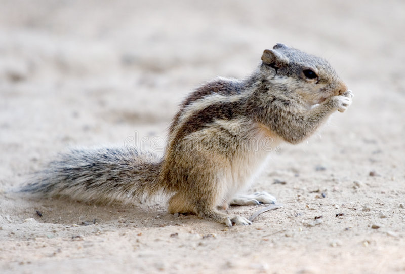 Download Rodent's Lunch Royalty Free Stock Photo - Image: 5045415