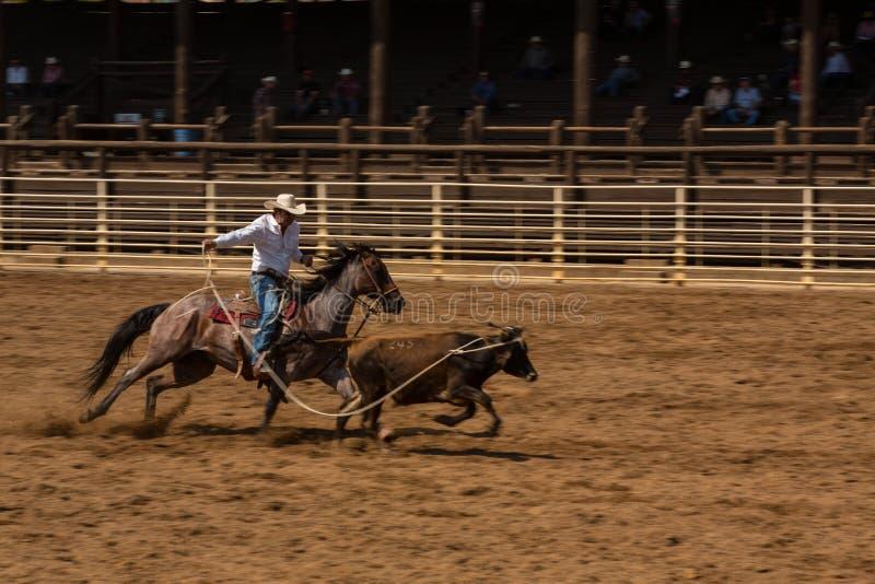 Rodeo de Ropes Calf At del vaquero en Dakota del Sur fotografía de archivo libre de regalías