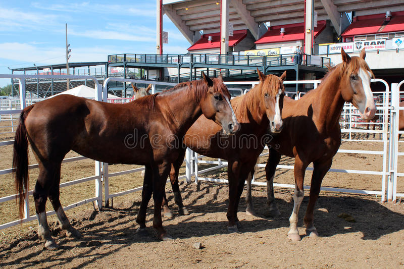 Rodeo Horses. Behind the chutes at Frontier Days in Cheyenne, Wyoming. Frontier Days is one of the largest rodeos in the world, and the behind the chutes tour stock images