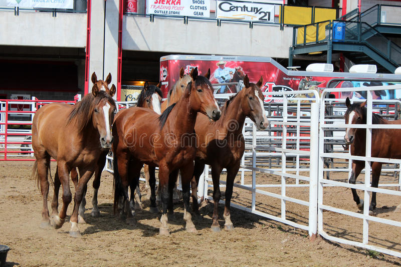 Rodeo Horses. Behind the chutes at Frontier Days in Cheyenne, Wyoming. Frontier Days is one of the largest rodeos in the world, and the behind the chutes tour stock photos