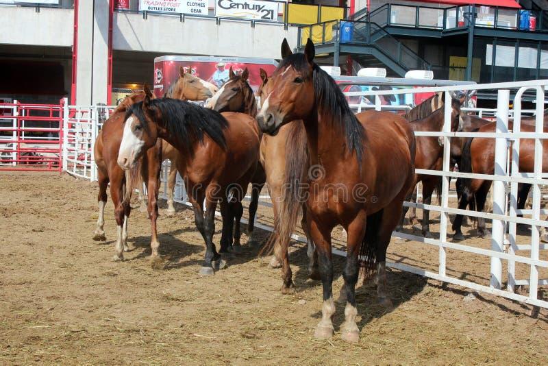 Rodeo Horses royalty free stock photography