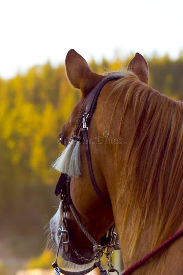 rodeo koń. obraz royalty free