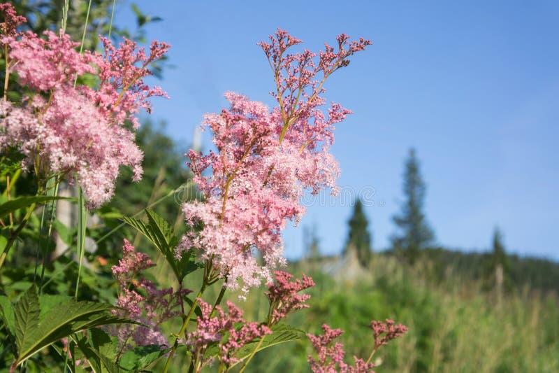 Rodgersia鳍类的绽放桃红色花以针叶树为背景的 免版税库存图片