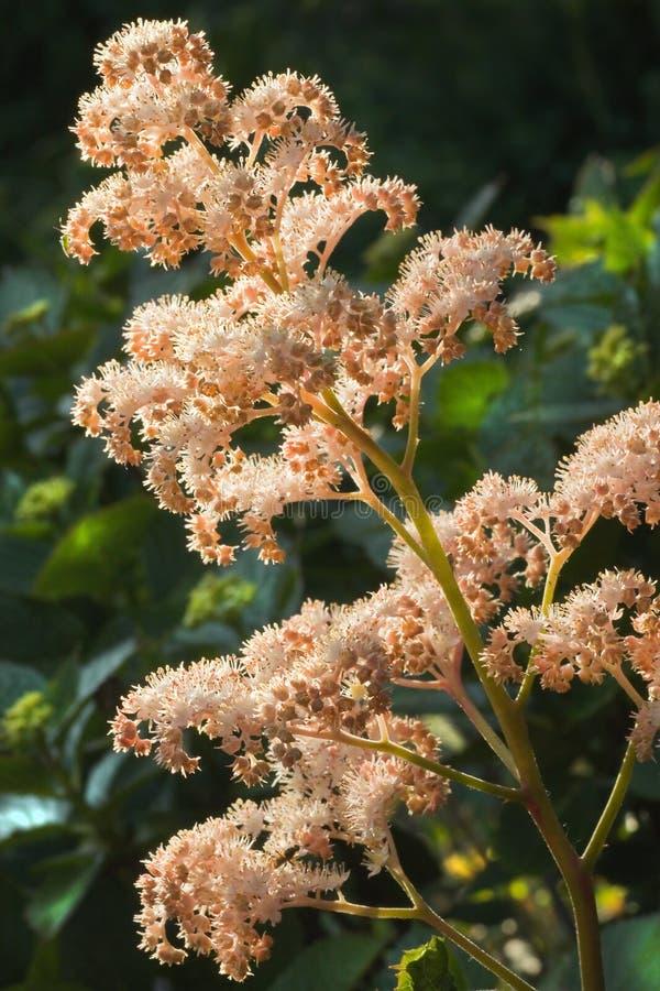 Rodgersia aesculifolia kwiaty zdjęcia stock