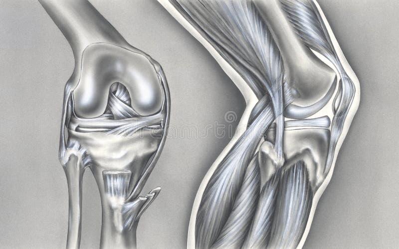 Rodilla - huesos, ligamentos y músculos stock de ilustración