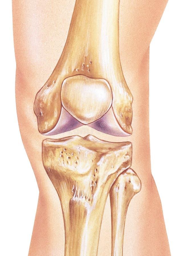 Rodilla - huesos y junta in situ ilustración del vector