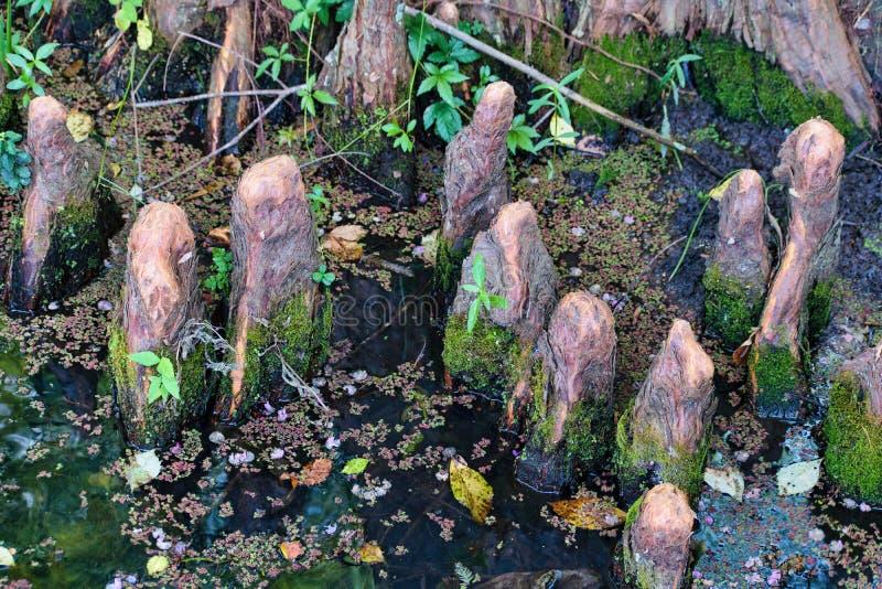 Rodillas de Luisiana Cypress fotografía de archivo libre de regalías