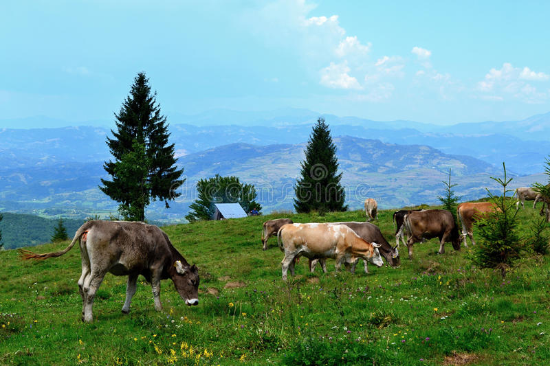 Rodna mountains in Romania - grazing cows stock images