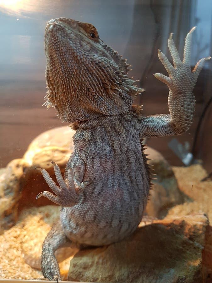 Rodney il drago immagine stock